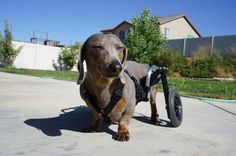 "Wheelchairs for Handicapped Dogs | Hand Built Quality by Ruff Rollin | ""Bluto"" Dachshund, I don't know that it gets any better than this. Dachshund Dog Wheelchair, Wheelchair for small dog, Wheelchair for Dachshund"