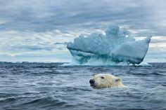 Polar Bear, Repulse Bay, Nunavut, Canada CD