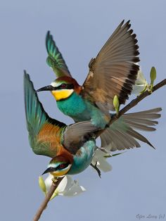 European Bee-Eaters; photograph by wildlife photographer Ofer Levy