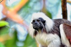 Rupam Das posted a photo:  The tamarins are squirrel-sized New World monkeys from the family Callitrichidae in the genus Saguinus. They are closely related to the lion tamarins in the genus Leontopithecus. Tamarins differ from marmosets primarily in having lower canine teeth that are clearly longer than the incisors. In captivity, tamarins can live for up to 18 years.