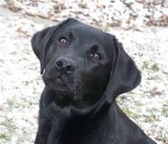 Labrador Retriever  - Bing images
