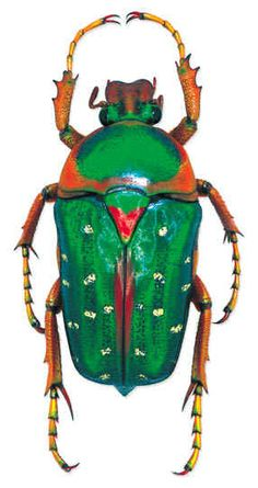 Stephanorrhina guttata Location: Cameroun Size:3 cm