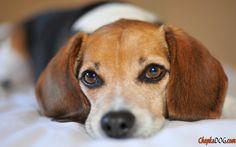 Perro Beagle en la foto