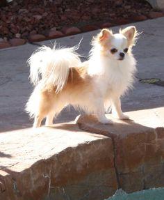 Long Hair Chihuahua With Images Chihuahua Puppies Chiwawa