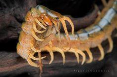 Scolopendra cingulata, aka the Megarian Banded Centipede. Photo: Igor Siwanowicz