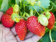 Environmental Graphics, Vegetable Garden, Farmer, Strawberry, Vegetables, Hand Holding, Mai, Gardening, Female
