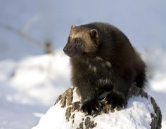 Wolverines are fierce hunters with a HUGE appetite. The Latin name for these hungry creatures (Gulo gulo) means glutton because they can eat so much in one sitting. http://www.earthrangers.com/wildwire/bbtw_updates/why-you-should-protect-wolverines/