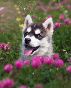 """Képtalálat a következőre: """"husky flowers"""""""