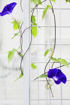 morning glories #flowers