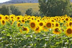 I had a dream once...Was in a field of sunflowers...can still feel the sun on my skin. Some dreams are unforgettable.
