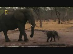 Bull elephant vs Lion pride. Bull elephant SAVES BABY ELEPHANT AND DOMIN...