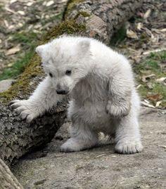 19 Ideas Baby Animals Wild Polar Bears For 2020 Cute Baby Animals, Animals And Pets, Funny Animals, Gato Gif, Baby Polar Bears, Photo Animaliere, Love Bear, Tier Fotos, Cute Animal Pictures