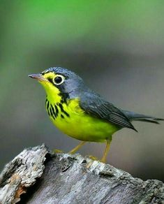 Kinds Of Birds, All Birds, Cute Birds, Pretty Birds, Little Birds, Beautiful Birds, Animals Beautiful, Cute Animals, Tropical Birds