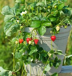Seascape will flower and fruit all season. The fruits are large, prolific, and have good flavor when picked ripe from the plant. Seascape has an overall good disease resistance but is susceptible to common leaf spot. Grows best in Zones 4-9.
