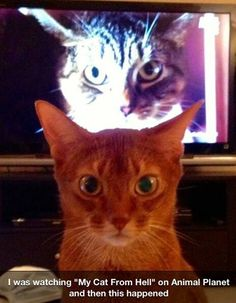 "I was watching ""My Cat From Hell"" on Animal Planet and then this Happened... Scary Cat Orange Cat Evil Cat"