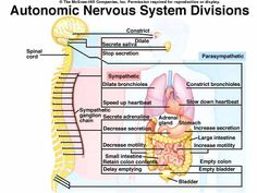 Labeled Diagram Of The Nervous System . Labeled Diagram Of The Nervous System Diagrams Of Human Nervous System Printable Diagram Nervous System Diagram, Human Nervous System, Peripheral Nervous System, Peripheral Nerve, Anatomy Organs, Anatomy And Physiology, Human Anatomy, Healing Images
