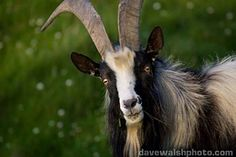 Old Irish Goat - another endangered, disappearing breed.