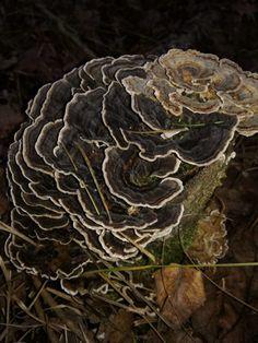 OUTKOVKA PESTRÁ- první slíbený příspěvek o houbách, tentokrát o královské houbě - Čarovná lékárna kolem nás Cabbage, Vegetables, Cabbages, Vegetable Recipes, Brussels Sprouts, Veggies, Sprouts