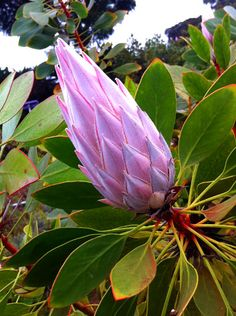 King Protea Bud at Ali'i Kula Lavender Protea Wedding, Wedding Flowers, Succulent Rock Garden, King Protea, Unusual Plants, Desert Plants, Naturally Beautiful, Pink Roses, Mushrooms