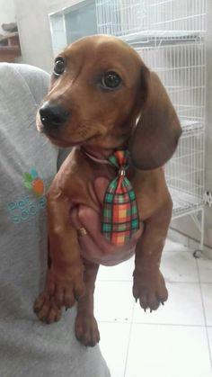 Dachshund – Friendly and Curious Baby Dachshund, Funny Dachshund, Weenie Dogs, Dachshund Puppies, Cute Puppies, Cute Dogs, Dogs And Puppies, Dachshund Facts, Doggies