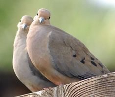 This morning I'm thankful for the beautiful sound of the doves in our neighborhood. My favorite of all the bird songs. Pretty Birds, Beautiful Birds, Animals And Pets, Cute Animals, Dove Pictures, Dove Pigeon, Mourning Dove, Dove Bird, Wild Dogs