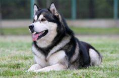 Szán kutyafajta: valamennyi elismert és nem elismert fajták ALASZKAI MALAMUT