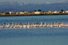 Flamingos at Delte de l'Ebre