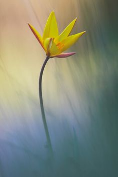 Sun-touched tulip