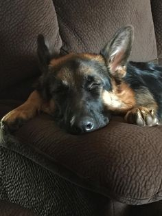 german-shepherd-puppy-fast-asleep-in-the-back-of-the-car