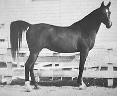 BINT MAISA EL SAGHIRA 1958 bay mare (Nazeer x Maisa, by Shahloul) Bred by the EAO. Imported to USA 1962 by Douglas B. Marshall, Gleannloch Farms, Texas.   1964 US National Top Ten Park; 1965 US National Top Ten English Pleasure & Top Ten Mare