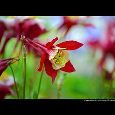 Aquilegia - Columbine Origami Red And White - Upper Brookville, New York  #aquilegia #columbine #origami #red #white #upper #brookville #new #york #plantae #magnoliophyta #magnoliopsida #eudicots #ranunculales #ranunculaceae #thalictroideae #planting #field #arboretum #garden #park #botany #flora #perennial #plant #spurred #petal #latin #eagle #dove #sophie #smith