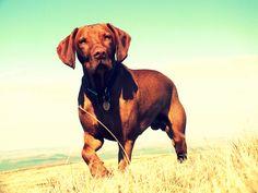 Archie on Pen y Fan Vizsla Dog, Hungarian Vizsla, Hunting Dogs, Archie, Mans Best Friend, Madness, Pup, Nature Photography, Friends