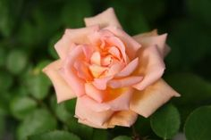 Scent-Sation ~ One of the most fragrant hybrid tea roses...a blend of creamy orange and soft peachy pink.