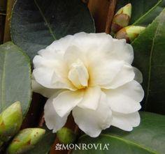 Buttermint Camellia - Monrovia - Buttermint Camellia