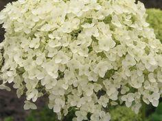 hortensia annabel  staat in bloei!