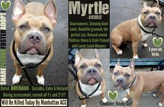 TO BE KILLED - 3/23/2015  ++++ LOW-RIDER MEATBALL ALERT FOR GORGEOUS MYRTLE. Myrtle is absolutely stunning and her looks garner lots of attention and compliments when the volunteers have her out for walks. But Myrtle isn't just eye candy. She's also well-behaved, house-trained and lovely on the dog leash. PLUS SHE ROCKED HER BEHAVIOR EVALUATION and earned herself a fabulous Average Rating. Myrtle is on the EUTH LIST at Manhattan ACC and she will die Monday, March 23rd if she doesn't have a…