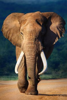 Photograph Elephant bull approaching by Johan Swanepoel on 500px