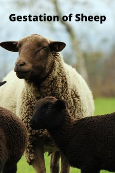 How long is Sheep Pregnant If you are interested in commercial sheep farming or you are thinking about sheep farming and you want to know about the selection of animals, feeding guidelines and their management. Sheep Shelter, Pet Sheep, Goat Shelter, Sheep Farm, Sheep And Lamb, Raising Farm Animals, Raising Chickens, Backyard Farming, Chickens Backyard