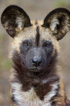 A nice wild dog portrait