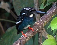 Silvery Kingfisher (Alcedo argentata) Philippines