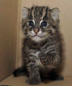 Young fishing cat