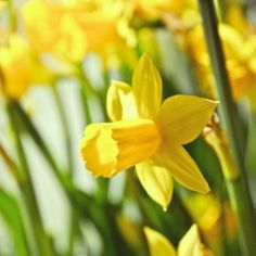 #photography #suomi #finland #beautiful #flowers #spring #yellow #narcissius #narsissi