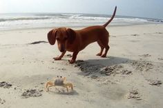 The doxie and the crab