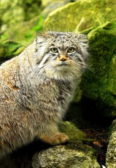 Pallas's Cat - also called the manul, is a small wild cat having a broad but patchy distribution in the grasslands and montane steppe of Central Asia. The species is negatively affected by habitat degradation, prey base decline, and hunting, and has therefore been classified as Near Threatened by IUCN since 2002. Pallas's cat was named after the German naturalist Peter Simon Pallas, who first described the species in 1776 under the binomial Felis manul…