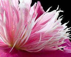 Peony, pink, flower, macro - ID: 5752704 © Amalia Elena Veralli