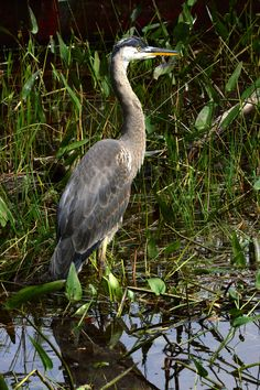 Great Blue Heron, Restoule Provincial Park Ontario Provincial Parks, Ontario Parks, Herons, Shorebirds, Blue Heron, Bird Pictures, Amphibians, Beautiful Creatures, Seaside