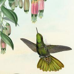 John Gould Antique Hummingbirds Prints 1861 #AnimalArt #Art