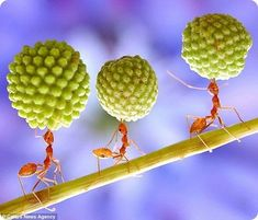 Муравей. Ant