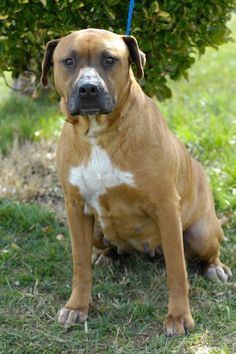 ***SUPER SUPER URGENT!!!*** - PLEASE SAVE LADY!! - EU DATE: 6/13/2015 -- Lady 31 Breed:Pit Bull Terrier / Mixed (mix breed) Age: Adult Gender: Female Shelter Information: Johnson City/Washington Co. Animal Shelter 525 Sells Ave  Johnson City, TN Shelter dog ID: D2015283 Contacts: Phone: 423-773-8510 Name: Hannah Greene email: jcanimalshelter@embarqmail.com  Read more at http://www.dogsindanger.com/dog/1425042038105#Y2TtHDGSFEgRAu4w.99