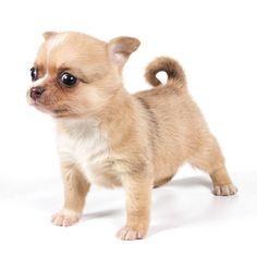 Chihuahua puppy ready to pounce